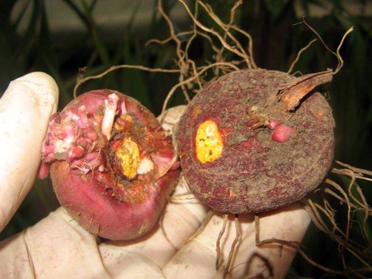 Луковица (детка) гладиолуса
