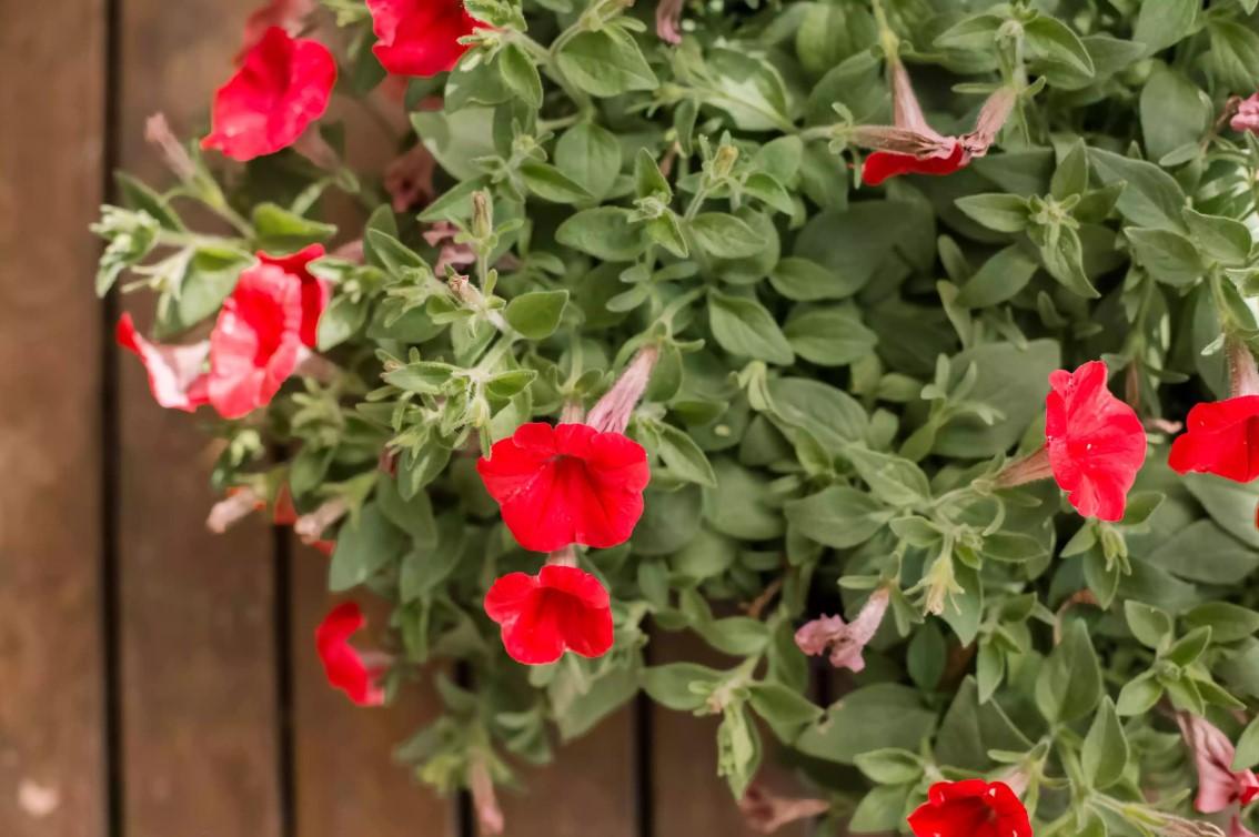 Петуния: посадка, выращивание, уход и фото, ярко красная