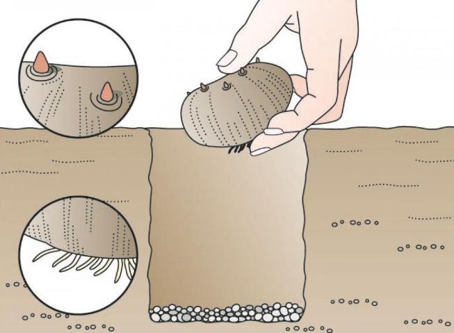Пример посадки луковицы