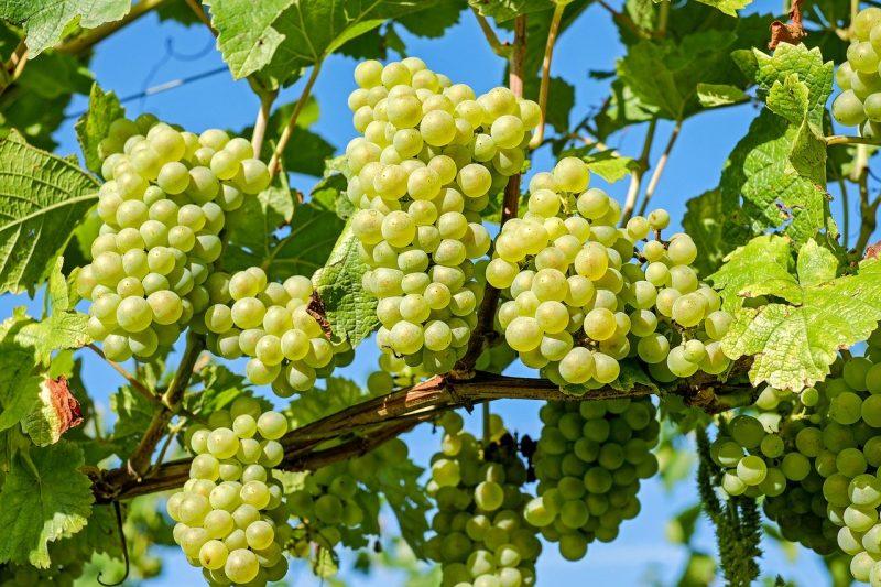 Правильное хранение черенков винограда зимой
