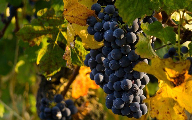 Весенний виноград