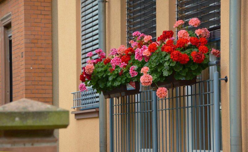Цветы на балконе: посадка и уход